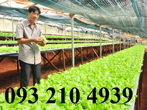 Nhà lưới trồng xà lách
